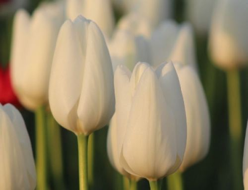 Make a weekend of your Tulip Tour in Chilliwack