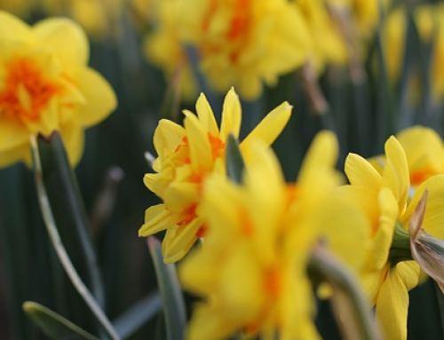 Hyacinths & Daffodils At The Chilliwack Tulip Festival