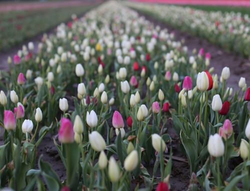 Rotating Tulip Fields at the Festival