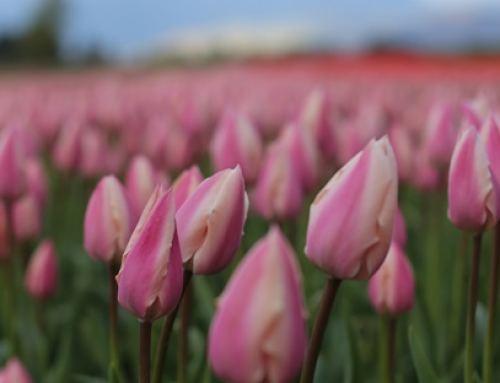 Chilliwack Tulip Festival Opens April 10th