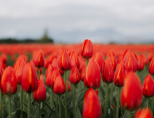 Chilliwack Tulip Festival NOW AVAILABLE at Your Local Grocer